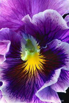 Pansy, purple, flower, macro - ID: 8470498 © Amalia Elena Veralli