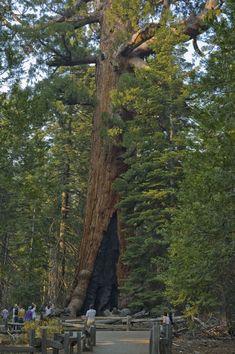 Mariposa Grove of Giant Sequoias in Yosemite in Yosemite National Park, California - Kid-friendly Attractions California Kids, California National Parks, Yosemite National Park, Plants, Plant, Planting, Planets