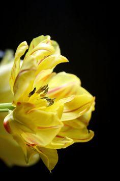 Tulpe in Gelb von Heidrun Lutz bei artflakes.com als Poster oder Kunstdruck $18.03