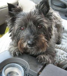 My 12 year old Cairn Scratchy. cute friends
