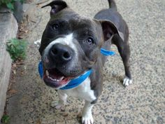 ~~AFFECTIONATE 2 YR OLD TO BE DESTROYED 7/25/14~~ Manhattan Center -P  My name is WILLIAM. My Animal ID # is A1007036. I am a male gr brindle and white pit bull. The shelter thinks I am about 2 YEARS   I came in the shelter as a STRAY on 07/17/2014 from NY 10462, owner surrender reason stated was STRAY.