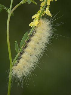 caterpillar, Virginian Tiger Moth/Yellow Bear