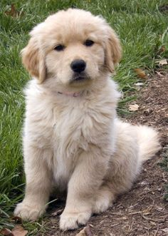 golden retriever puppies cute | Zoe Fans Blog