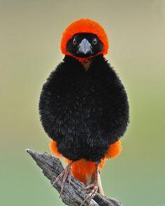 Southern Red Bishop Bird
