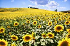 """Tuscany - miles and miles of sunflower fields; Our tour was called The Magic of Italy; we affectionately called a sunflower a """"Tim"""" - the Italian Magic Colorful Flowers, Beautiful Flowers, Beautiful Scenery, Beautiful World, Beautiful Places, Yellow Plants, Fields Of Gold, Sunflower Fields, Tuscany Italy"""