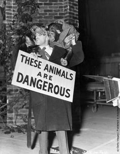 Chimpanzee actors Baron (left) and Marquis clamber over their owner Gene Detroy, during the filming of 'Stop Press Girl' at Pinewood Studios, England. (Photo by Robert Hawkins/Hulton Archive/Getty Images). 1949