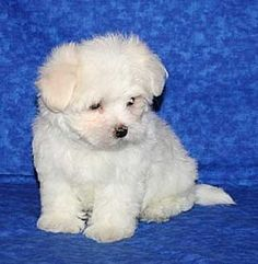 #maltese - puppy, via Flickr