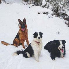Che bel trio di fotomonelli! Ma che freddo brr  Foto di: @gass_e_nala #BauSocial  Si mettono in posa con una facilità : sono modelli nati. #natura #babboleosocial #trentino #neve #bosco #montagna #tranquillità # modelli #foltecriniere#bordercollie #dog #doglovers #doglove #dogsofinstagram #animal #animallover #insta_dog #lovedogs #dogs #love #germanshepherd #latergram #pastoretedesco #happy #tbt #winter #snow #paws