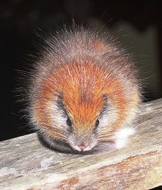 Restricted to the Sierra Nevada de Santa Marta, Colombia, the Red Crested Tree Rat (Santamartamys rufodorsalis) is listed as Critically Endangered, due to habitat loss. by Lizzie Noble Extinct Animals, Rare Animals, Cutest Animals, Unusual Animals, Wild Animals, Strange Animals, Hamsters, Rodents, Gerbil