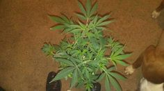 melissapot:    stoner kush herb strain 420 pot ganjaweed marijuana cannabis
