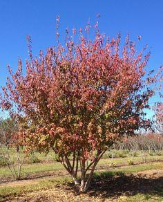 Magnolia Virginiana Jim Wilson Moonglow Common Name
