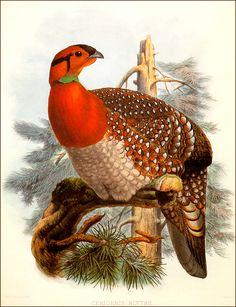 Elliott Golden Pheasant Vintage Lithograph Art Print Daniel G