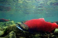 Red Alaskan Salmon
