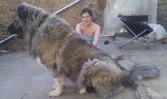 Tibetan mastiff, Caucasian shepherd, Caucasian mountain dog, Georgian Shepherd. Dont care what its called, I want one