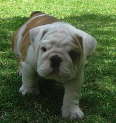 BullDog Ingles (MAC)