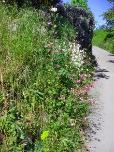 narrow country lane with wild flower hedgerows