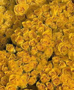 81 Best Mellow Yellow Rose Images On Pinterest