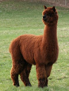 Alpaca baby booties are one of the most comfortable items you can have for your baby. Make sure you have comfort for your baby with alpaca baby booties Alpacas, Llama Pictures, Animal Pictures, Farm Animals, Funny Animals, Cute Animals, Most Beautiful Animals, Beautiful Creatures, Alpaca Drawing