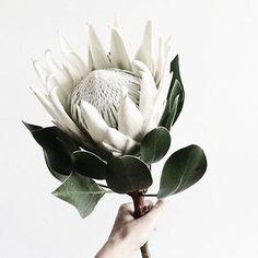 The king 🙌🏻 Protea Flower, Flowers, King Protea, White King, Succulents, Bride, Plants, Wedding, Palette