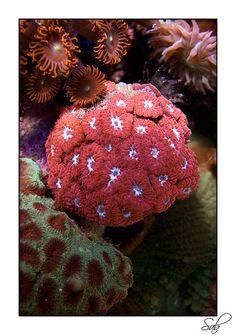 Coral (blastomussa)  #hardcoral #hard #coral #corals #marine #saltwater #hardcorals #corals #reeftank #reefaquarium #saltwatertank #saltwateraquarium #marinetank #marineaquarium #tank #aquarium #marine #nano #fish #lps #sps