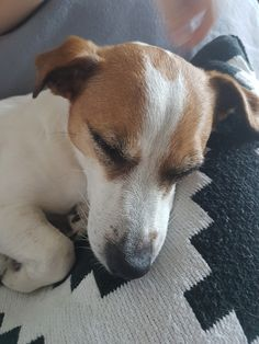 My Sweet  Jack Russell