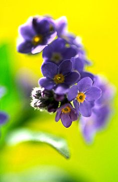 Flowers...Flowers...Flowers... Forget-me-not