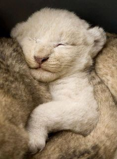 Two-week old White Lion cub is surrounded by her brown lion siblings