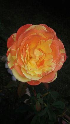 Rosa autunnale