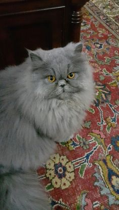 Verona,  our furball cat