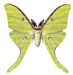 luna moth art | Luna Moth Insect Vintage Art Illustration by DigitaIDecades