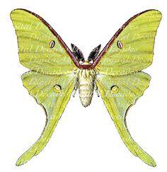 luna moth art | Luna Moth Insect Vintage Art Illustration by DigitaIDecades