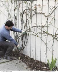 Roses Pruning Climbing Roses - Fine Gardening Article, -best to prune in winter while dormant, other tips.Pruning Climbing Roses - Fine Gardening Article, -best to prune in winter while dormant, other tips.
