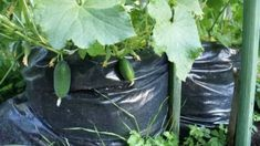 1000 cucumbers per square meter Vegetable Garden Design, Small Farm, Garden Care, Lawn And Garden, Agriculture, Garden Landscaping, Gardening Tips, Landscape Design, Grass