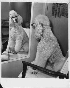 1963 BOSTON POODLE MIRROR PRESS PHOTO