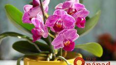 Sú listy orchideí ochabnuté, odpadajú im púčiky a nechcú kvitnúť? TAKTO im… Cattleya Orchid, Moth Orchid, Lilium Martagon, Hampton Garden, Growing Orchids, Plant Guide, Blue Orchids, Natural Garden, Garden Boxes