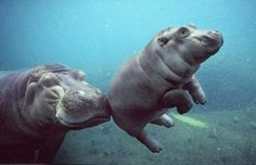 just a baby hippo learning to swim.  :)
