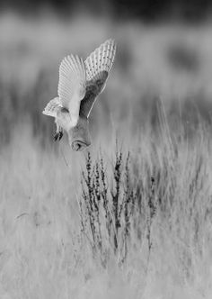 Hunting Owl. ° #animals