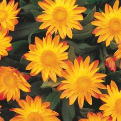 "Strawflower 'Sundaze Flame' Bracteantha - An award winner that is heat and drought tolerant. Likes a sunny spot. Height 10-14"""