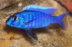Electric blue cichlid. Freshwater fish, but these cichlids are colorful enough sometimes to look like saltwater fish. Mine is huge!!!!