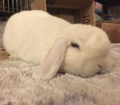 Waiting for the weekend like  #rabbit #rabbitofig #bunny #bunnyofig #instabunny #instarabbit #hollandlop #housebunny #houserabbit #dailyfluff #dailybunny #petagram  #petsofinstagram #bunniesofinstagram #weeklyfluff #animals #animalsofinstagram  #bunnylovers #fluffy #bunniesworldwide by momoandbear
