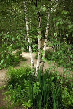 Sarah Price - Chelsea Flower Show Multi-stemmed birch trees provide the solid verticals in this ethereal, wavy garden