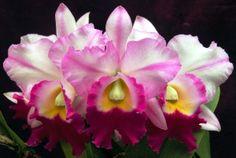 165 Best my orchids images in 2018   Orchids, Lily, Orchid