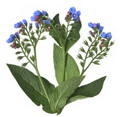 Photo about Comfrey herb - Symphytum officinale - isolated. Image of skincare, flora, isolation - 25425185 Bridesmaid Jewelry Sets, Kefir, Plant Leaves, Flora, Royalty Free Stock Photos, Herbs, Skin Care, Plants, Image