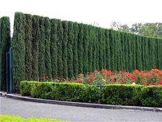 Живая изгородь из можжевельника виргинского, фото сайта lki-nn.ru