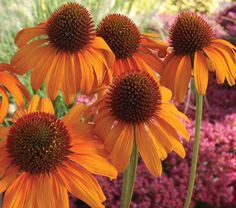 Can't imagine a sunny perennial border without the Echinacea flower? Shop Bluestone Perennials for Echinacea perennial plants today. Full Sun Flowers, Orange Flowers, Beautiful Flowers, Happy Flowers, Fleur Orange, Best Perennials, Tiki Torches, Garden Inspiration, Flower Power