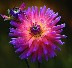 Dahlia, The bi g and the small one by Carl Sieswono Purwanto -  Click on the image to enlarge.