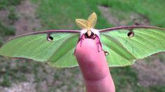 car sez: SAFE!    Actias Luna Moth - Green Lunar Moth
