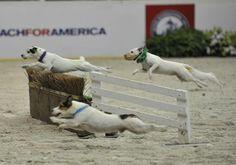 Crowd Pleaser...the JRT race! 2013 Washington International Horse Show. Equestrian Life
