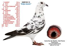 Herbots is one of the best Belgium pigeon fanciers and manufacturer and main distributor of Herbots Animal Products. Pigeon Books, Pigeon Pictures, Homing Pigeons, Pigeon Loft, Pigeon Bird, Palomar, Best Stocks, Black Diamond, Peace