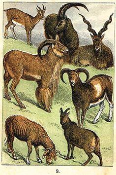 """Buffon's Fish - """"GOAT, MAKHOOR, MUFFLON, SHEEP, EWE ETC."""" - Chromolithograph - 1869"""